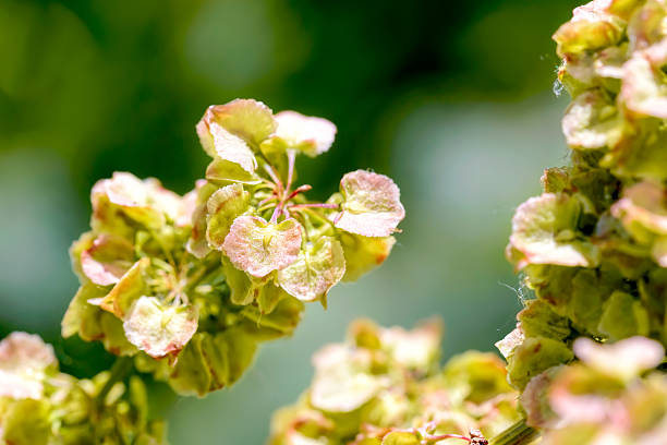 Rumex Crispus stock photo