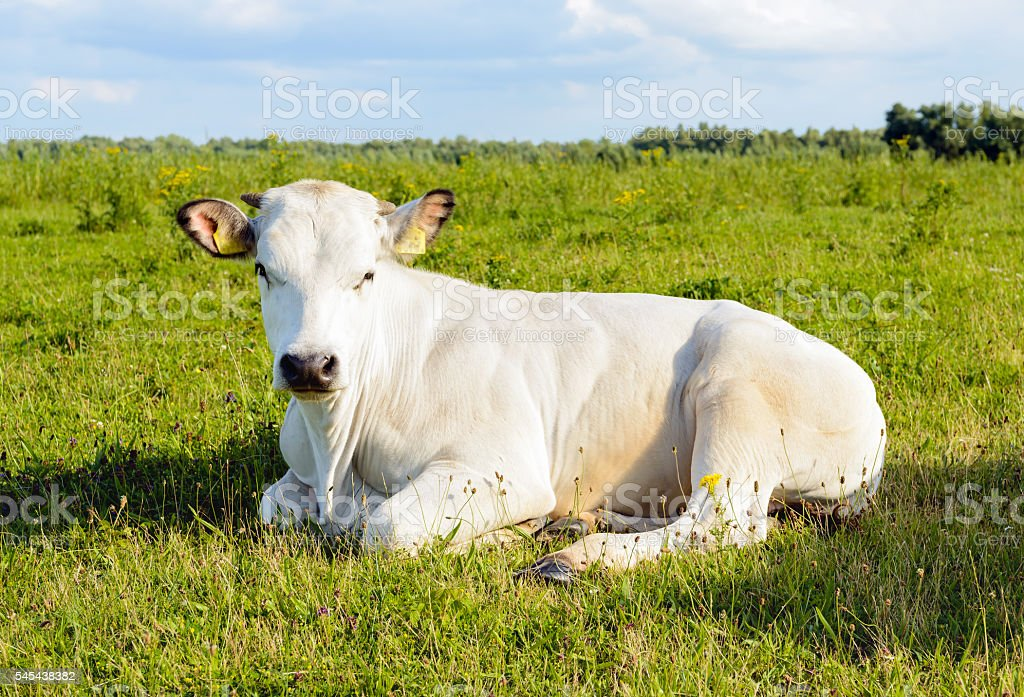 Ruminating white cow lying in the grass stock photo