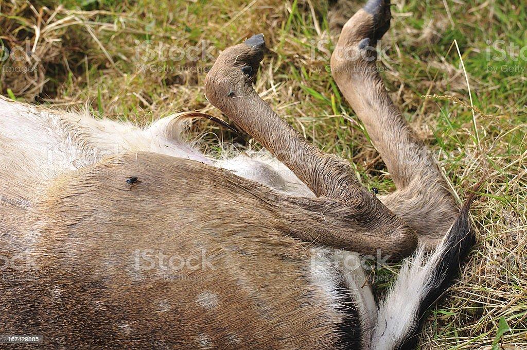 Rump,leg and shank of dead deer royalty-free stock photo