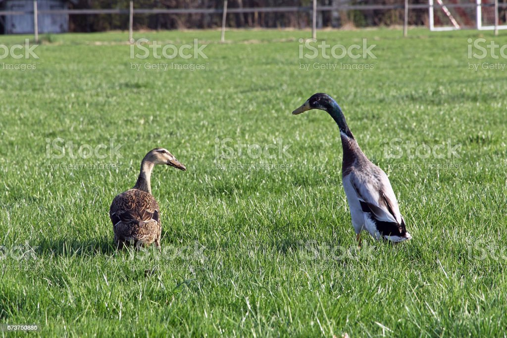 A run duck's pair on a meadow royalty-free stock photo