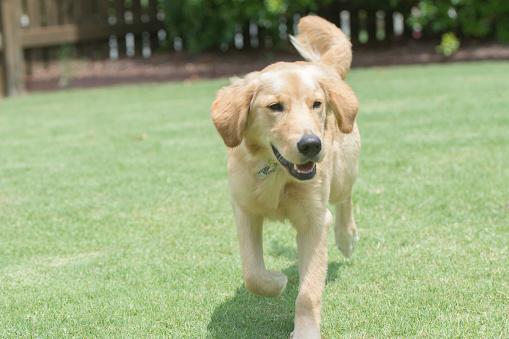 A golden retriever running in the grass