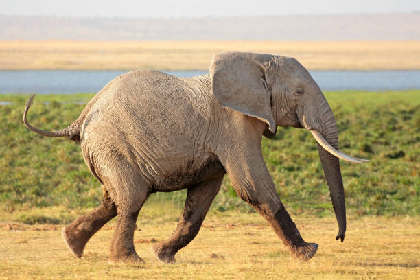 Running African elephant stock photo
