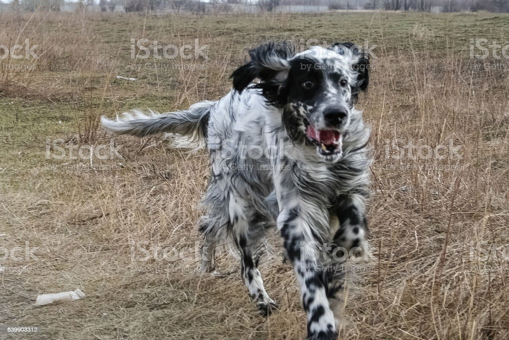 Running an English Setter. Siberia. Russia. stock photo