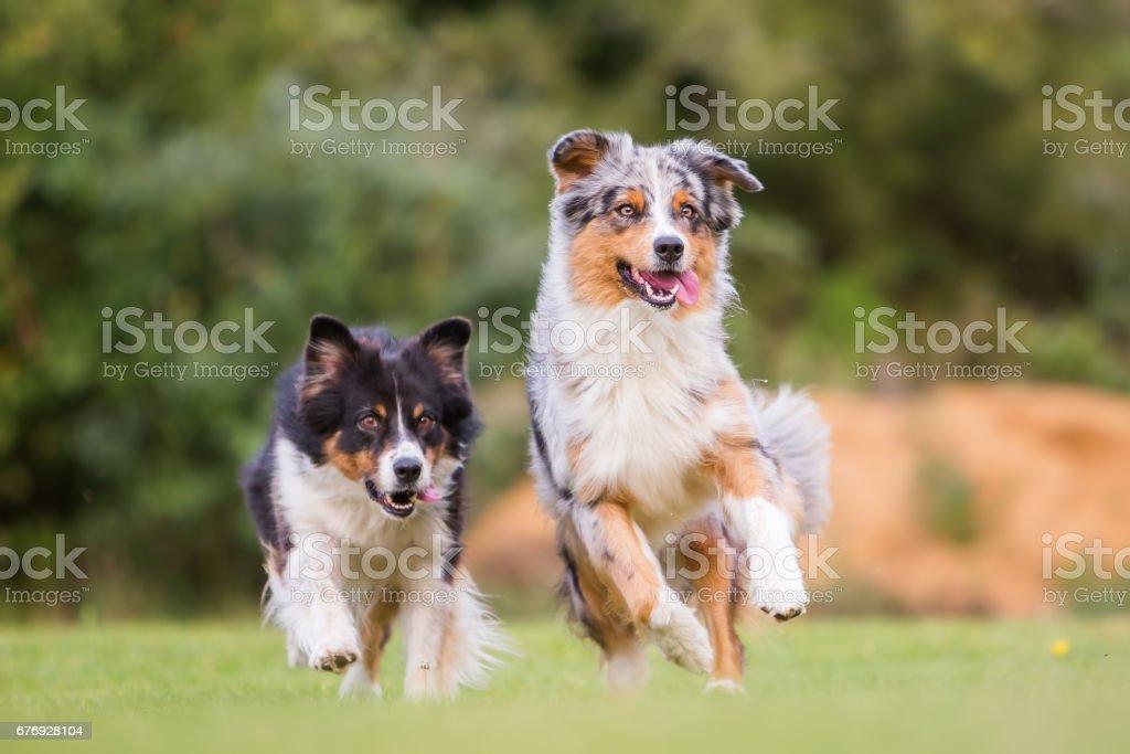 running Australian Shepherd dogs – Foto