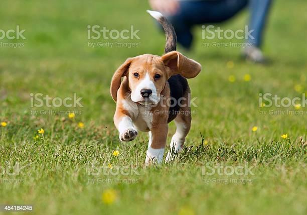 Running beagle puppy at the walk picture id454184245?b=1&k=6&m=454184245&s=612x612&h=nqbhk8neecnrfttwk fjvbktmpjpbz9bnlgxuecu96k=