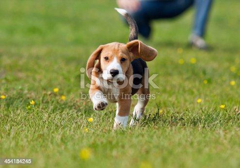 Running Beagle Puppy At The Walk Stock Photo & More ...  Running