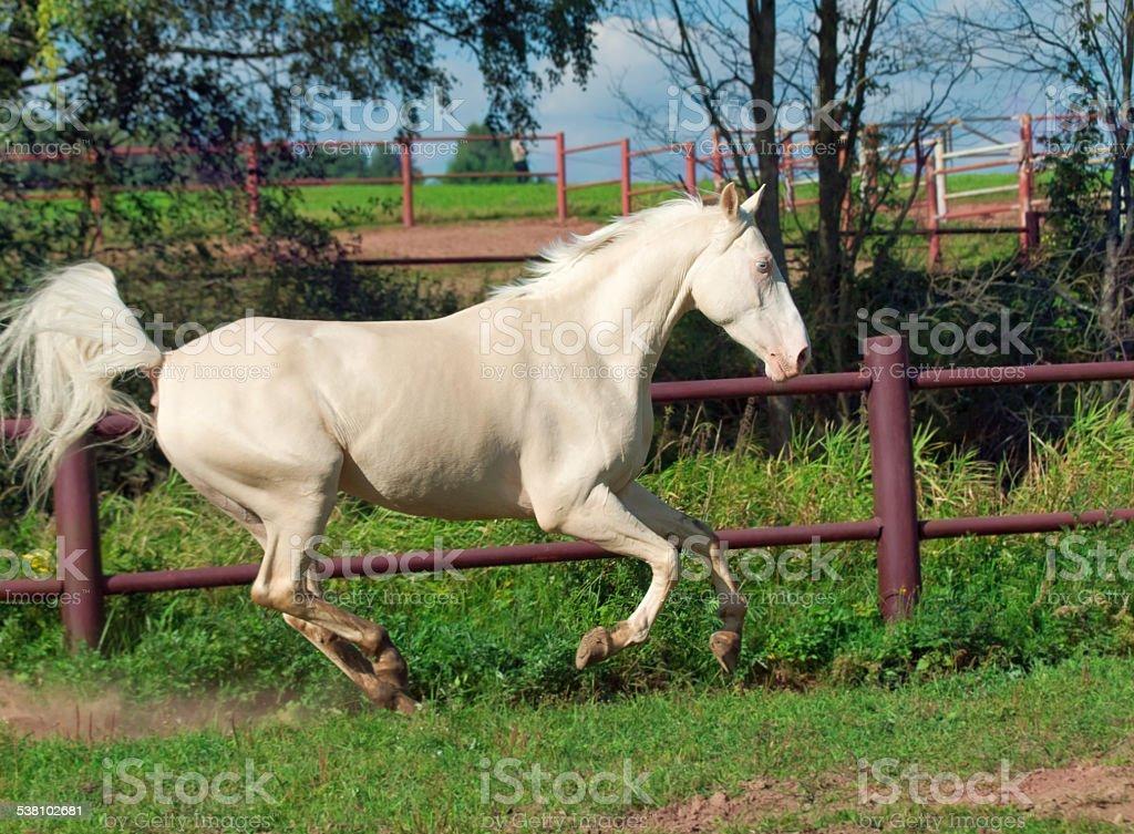 Running Beautiful Palomino Horse In Paddock Stock Photo Download Image Now Istock