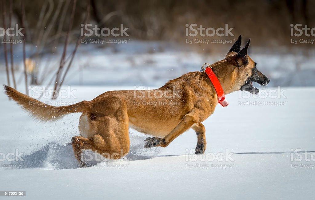 Running belgian shepherd malinois stock photo