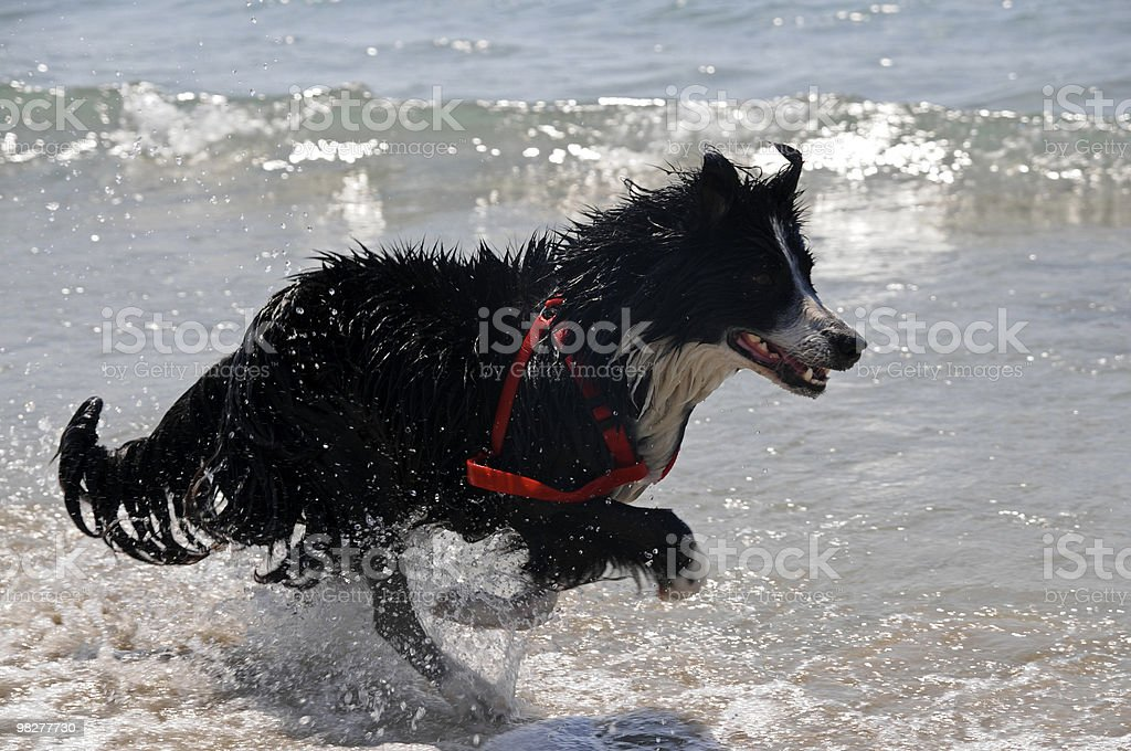running black border collie (series) royalty-free stock photo