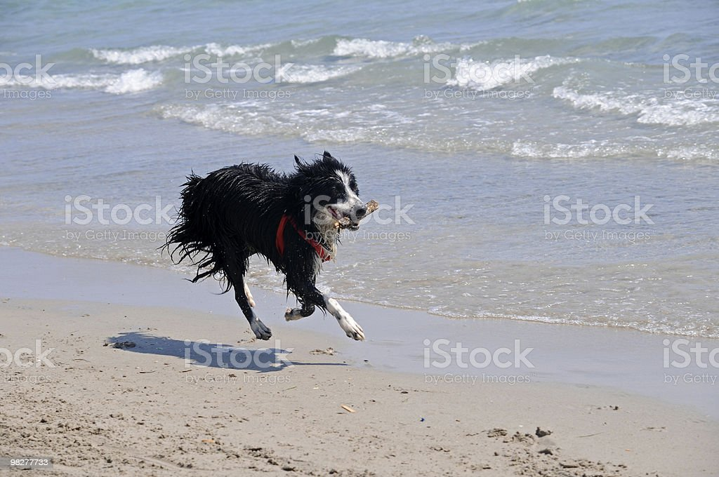 running black dog brings piece of wood (series) royalty-free stock photo
