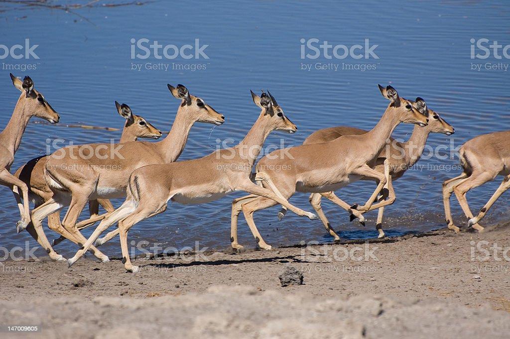 Running Black Faced Impala's stock photo