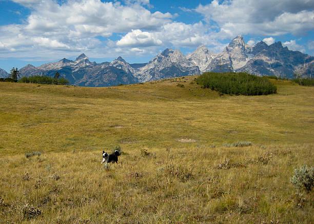 Running Border Collie in Tetons stock photo
