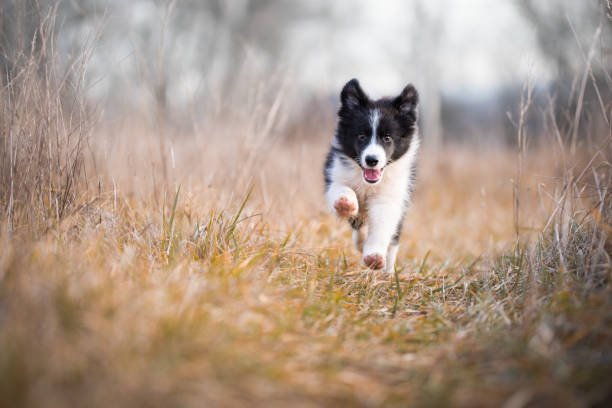 Running border collie puppy in winter time Running border collie puppy in field in winter sheepdog stock pictures, royalty-free photos & images
