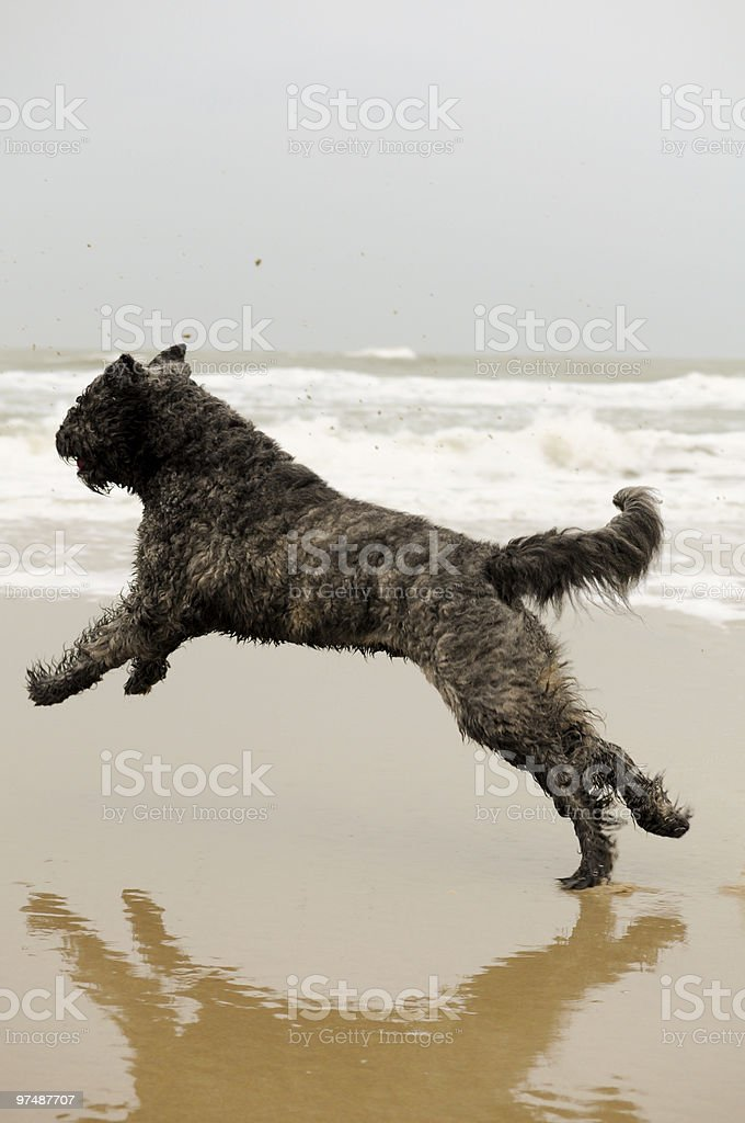 Running bouvier dog royalty-free stock photo