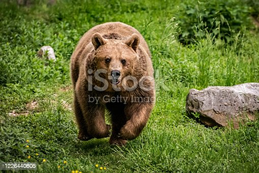 Close-up of running brown bear. Although it seems to be running straight towards the camera, it is actually reacting aggressively to the appearance of another bear on the edge of the clearing.