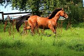 running brown quarter horse