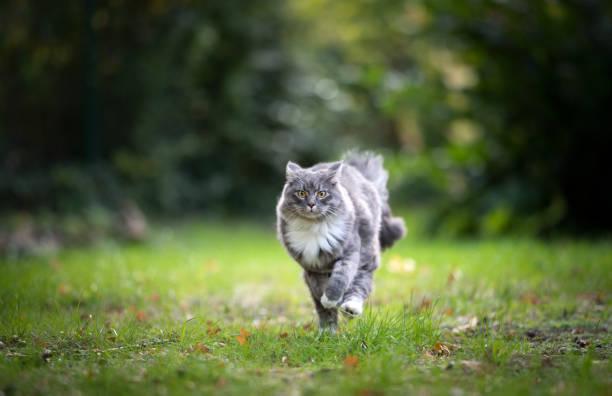 laufende katze - grau getigerte katzen stock-fotos und bilder