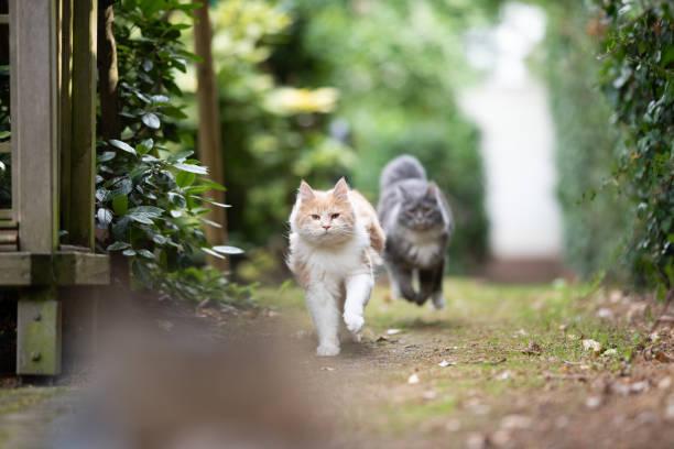 Running cats picture id1171159671?b=1&k=6&m=1171159671&s=612x612&w=0&h=z0pchj4xuw9glgvulqyfmhnfj72fofmzd7uznplyez8=