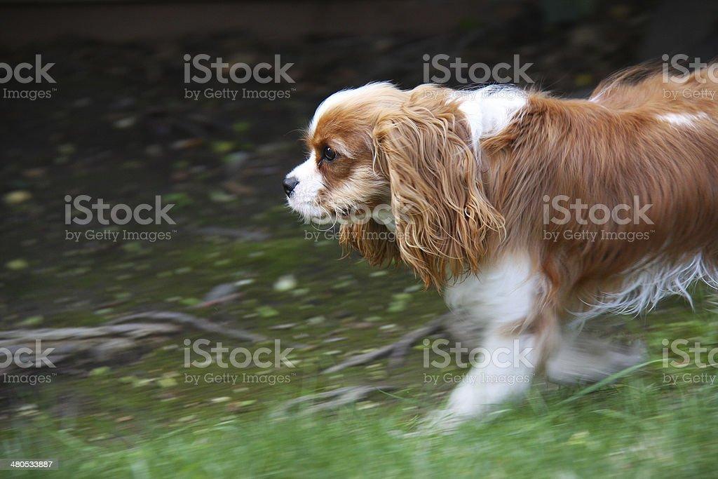 Running Cavalier King Charles Spaniel stock photo