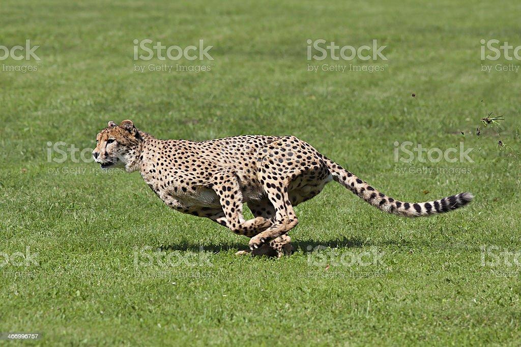 Funcionamiento de guepardo - foto de stock