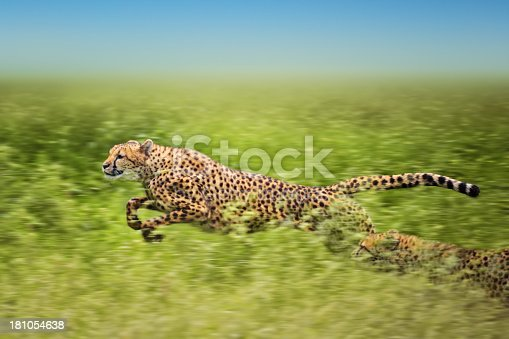 Two african cheetahs running fast. The second one is almost hidden beneath the high grass. Blurred motion.