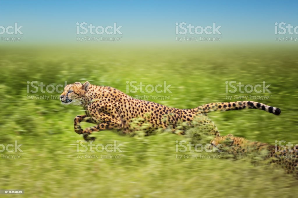 running cheetahs stock photo