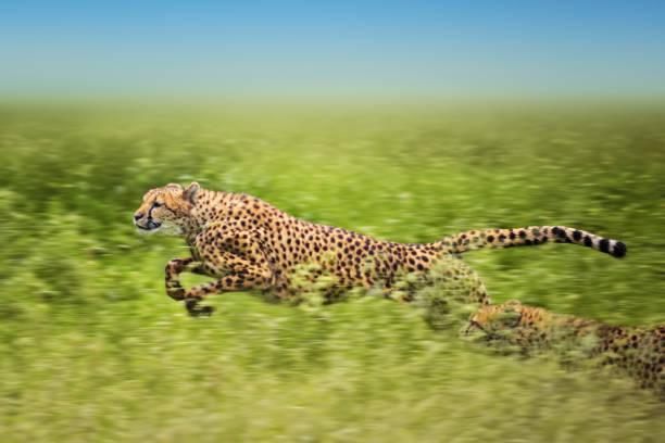 running cheetahs stock photo