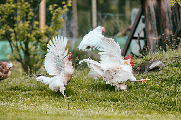 royalty free running chicken pictures images and stock photos istock