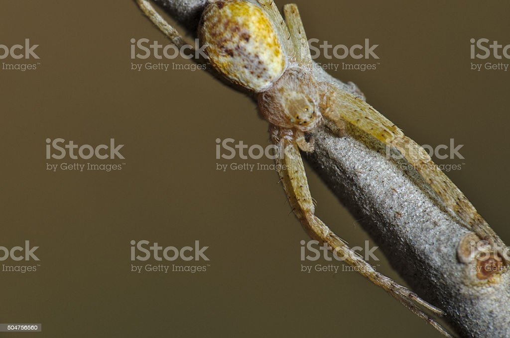 Running Crab Spider on a Tree Branch stock photo
