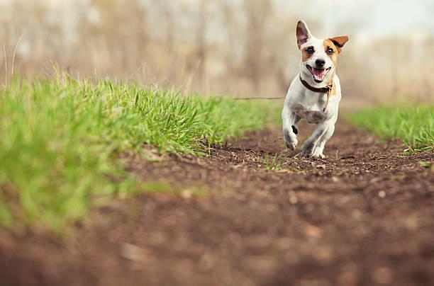 Running dog at summer – Foto