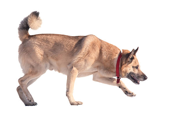 Running dog isolated on white picture id119353189?b=1&k=6&m=119353189&s=612x612&w=0&h=zmvg5m6bl h 7tj8namqspz j4fzkandxgwchlaawcs=