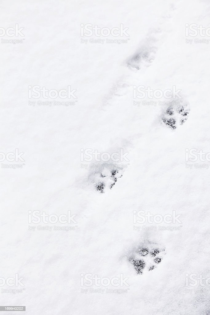 Running Dog Paw Prints in Snow royalty-free stock photo