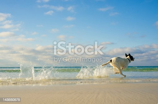 A mixed breed dog running on the beach. Location is Destin Florida. USA