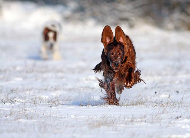 Running dog Speedy Irish Setter running to the camera irish setter stock pictures, royalty-free photos & images