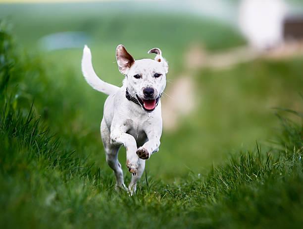 Running dog picture id493886161?b=1&k=6&m=493886161&s=612x612&w=0&h=1gybbt9hkrti0uprdsvdxkjy1knmqdshududpbw9nia=