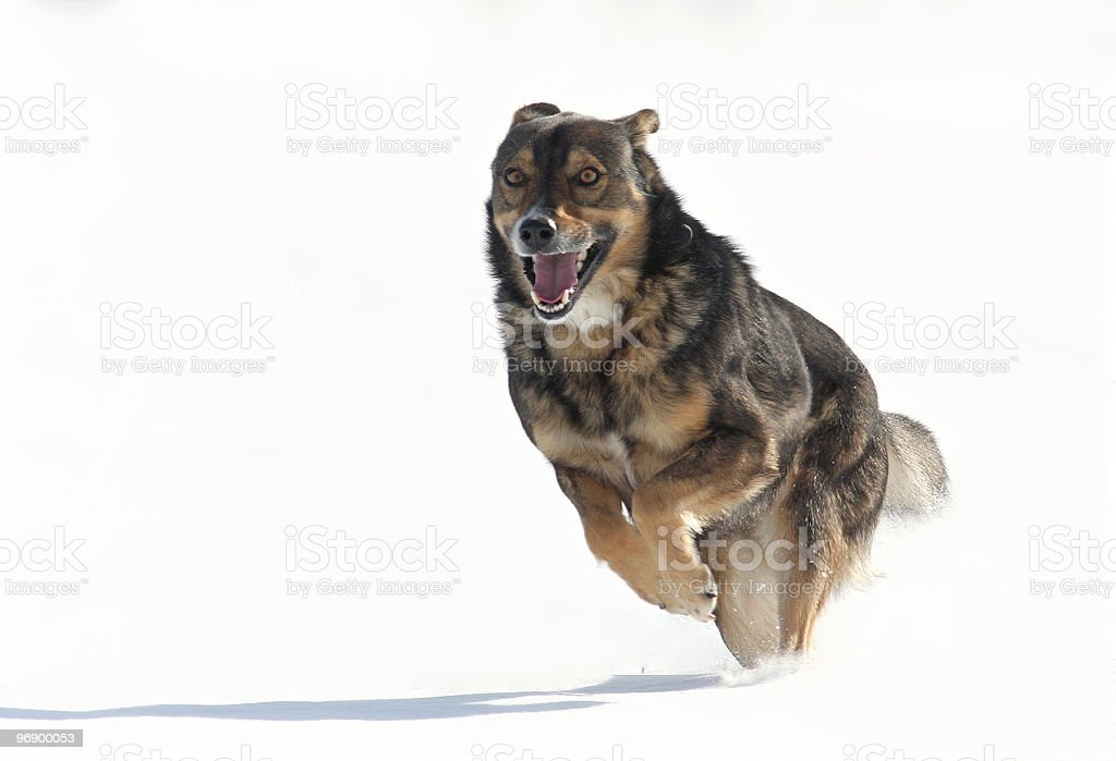 running dog royalty-free stock photo