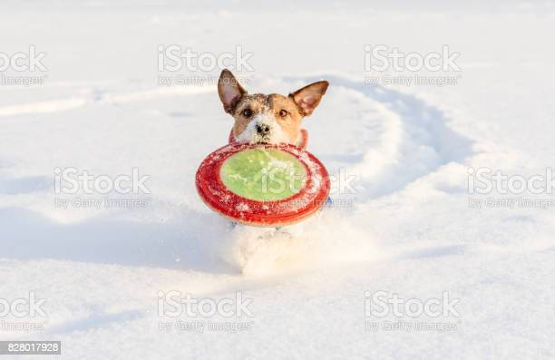 Running dog playing fetch game with flying disc on snow background picture id828017928?b=1&k=6&m=828017928&s=612x612&h=svjissyvmjzpvglwisz57wp1cjaaehw 5a y0few9me=