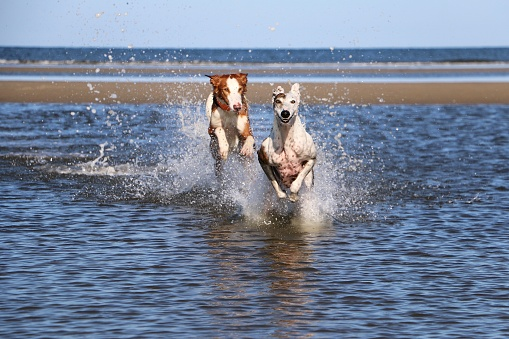 running dogs at the beach