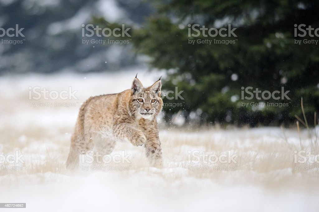 Running eurasian lynx cub on snowy ground in cold winter stock photo