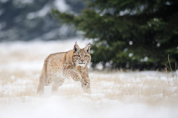 Running Eurasischer Luchs cub auf verschneiten Untergrund im winter – Foto