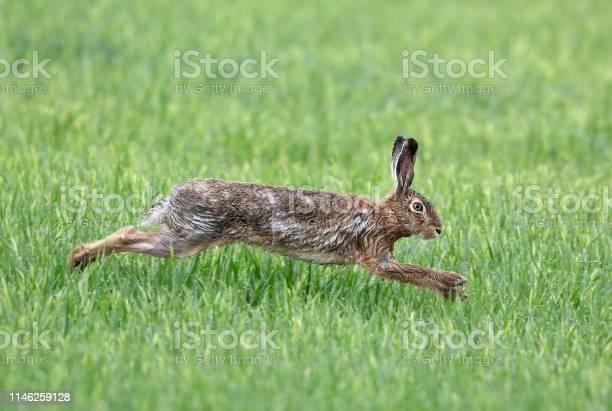 Running european hare picture id1146259128?b=1&k=6&m=1146259128&s=612x612&h=niysenxdxkf4oh2mquzsu3eodfgxhootrkaahir06jo=