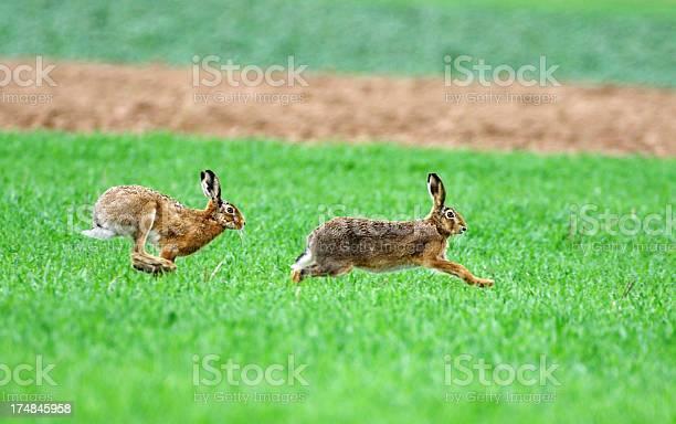 Running european hares picture id174845958?b=1&k=6&m=174845958&s=612x612&h=w98wfukenj3gehjwcavqhqwtnxcaahv9sajsoxfryge=