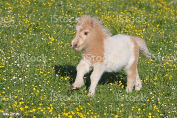 Running falabella foal picture id1007782950?b=1&k=6&m=1007782950&s=612x612&h=tzgmytgklwkf3md6iih1qrem4uqw3bacnn0tbnl7zmw=