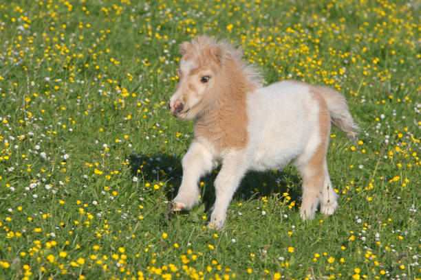 Running Falabella foal Falabella foal running on a meadow. The Falabella miniature horse is one of the smallest breeds of horse in the world. pony stock pictures, royalty-free photos & images