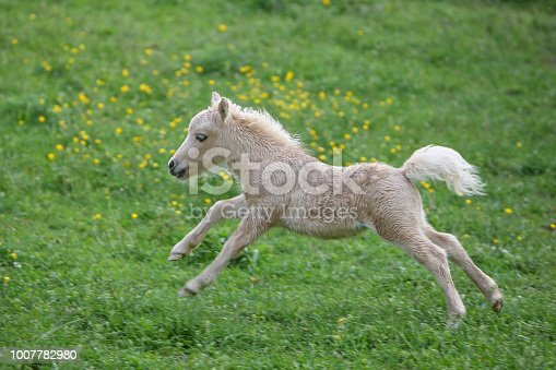 Falabella foal running on a meadow. The Falabella miniature horse is one of the smallest breeds of horse in the world.