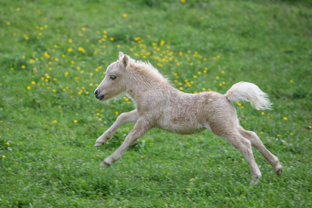 Running Falabella foal Falabella foal running on a meadow. The Falabella miniature horse is one of the smallest breeds of horse in the world. foal young animal stock pictures, royalty-free photos & images