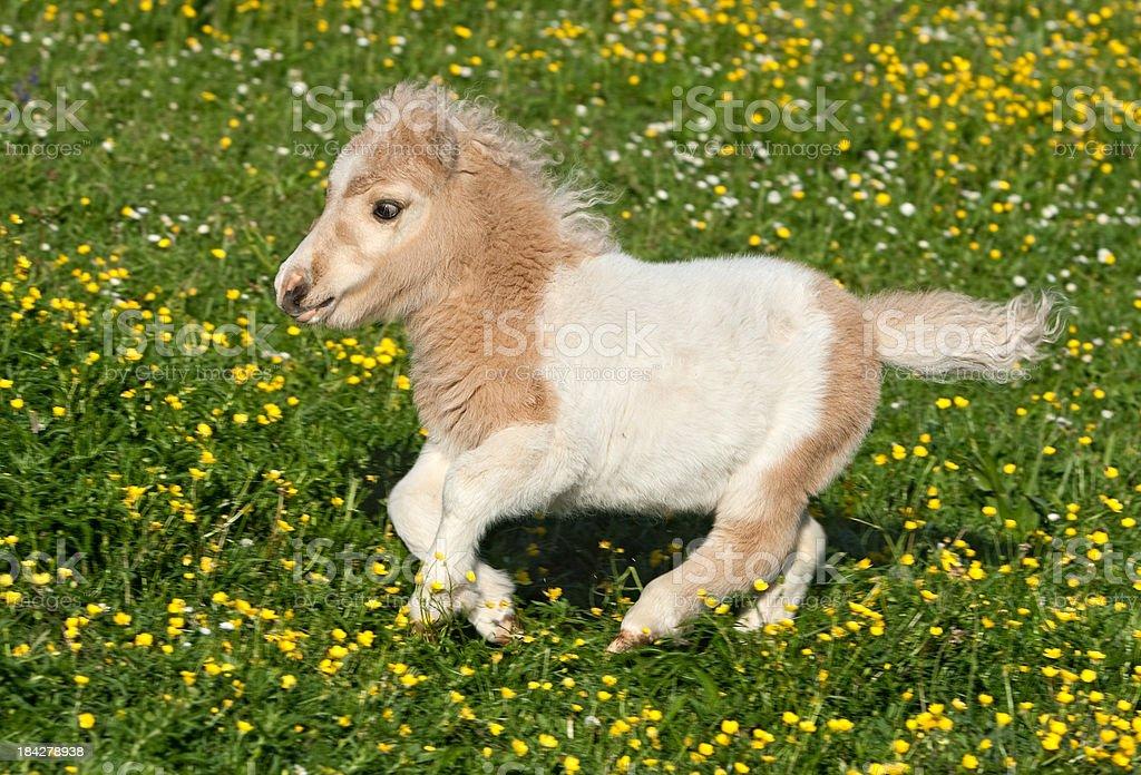 Running Falabella Foal stock photo