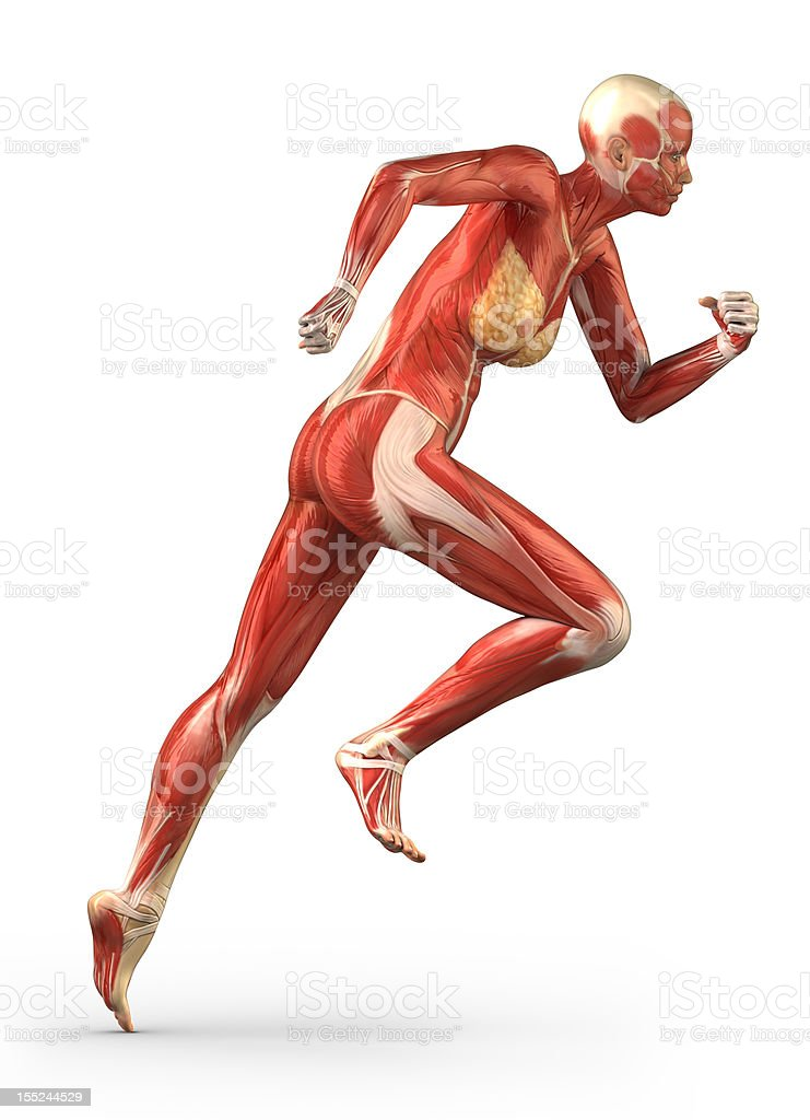 Running female with anatomy of muscular system stock photo