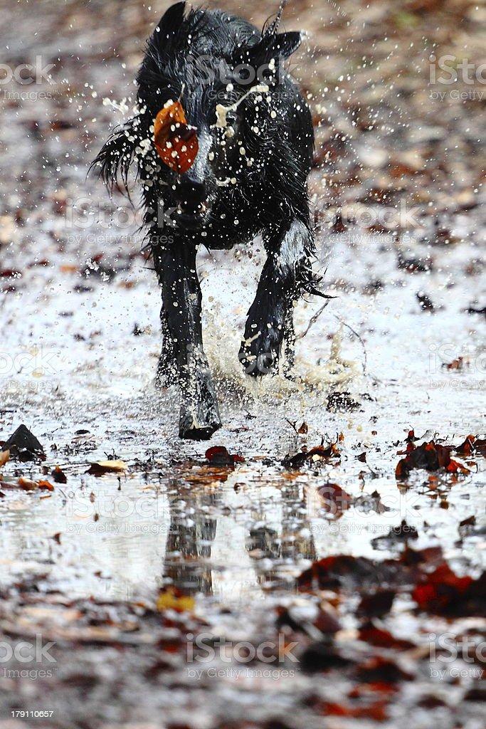 Running Flat Coated Retriever royalty-free stock photo