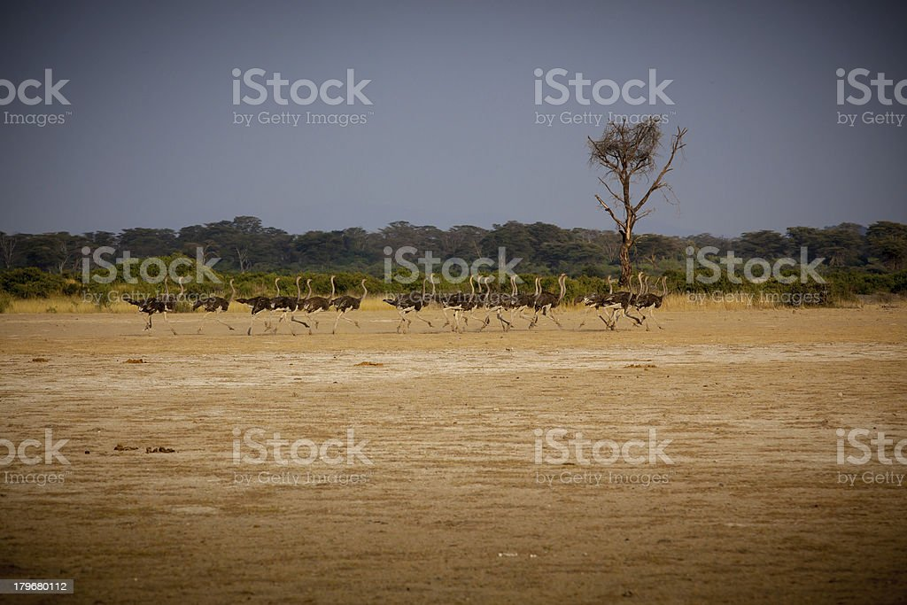 Running flock of Ostrich royalty-free stock photo